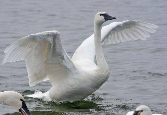 Tundra Swan 2019-72