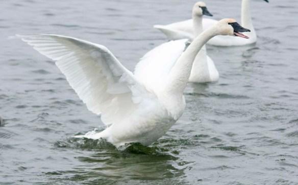 Tundra Swan 2019-73