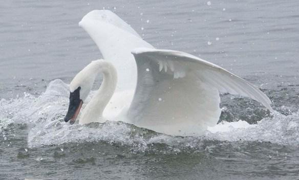 Tundra Swan 2019-77