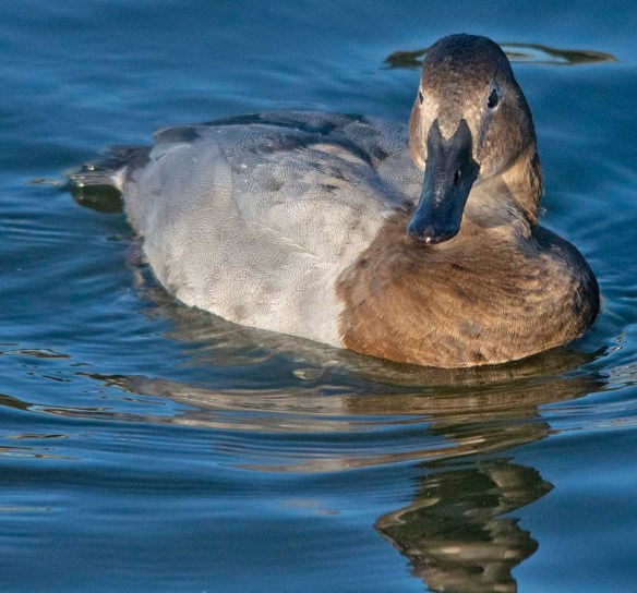 Canvasback 2019-37