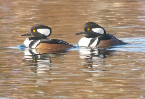 Hooded Merganser 2019-41