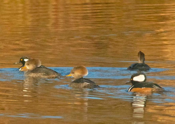 Hooded Merganser 2019-42