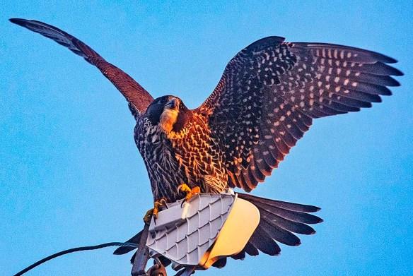 Peregrine Falcon 2019-4