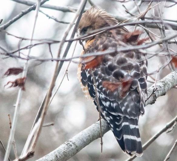 Red Shouldered Hawk 2019-103