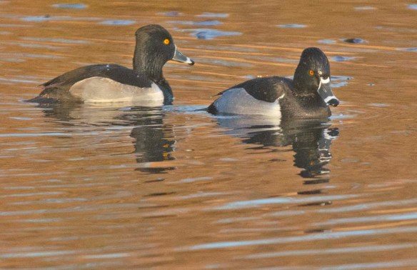 Ring Necked Duck 2019-10