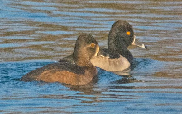 Ring Necked Duck 2019-11