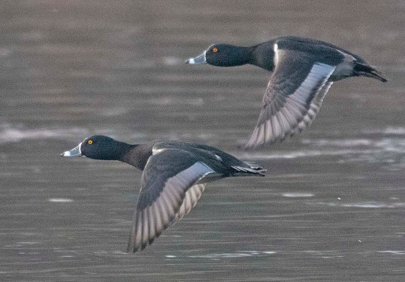 Ring Necked Duck 2019-13