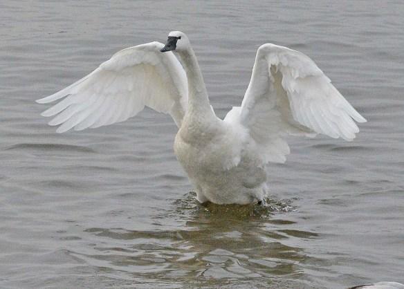 Tundra Swan 2019-112