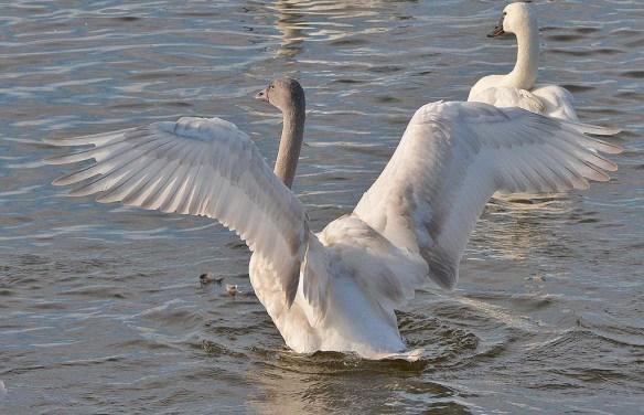 Tundra Swan 2019-119