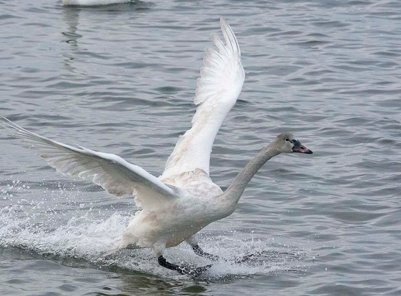 Tundra Swan 2019-122