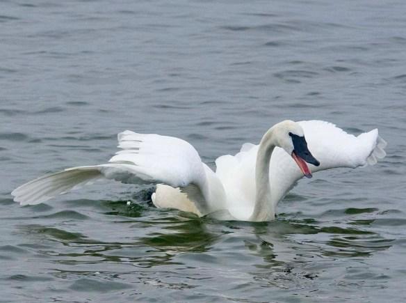 Tundra Swan 2019-79