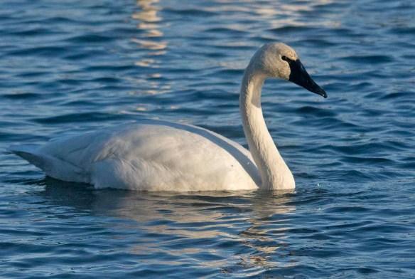 Tundra Swan 2019-80