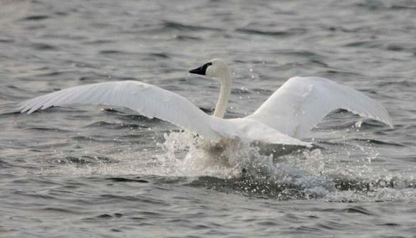 Tundra Swan 2019-83