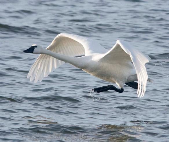 Tundra Swan 2019-85