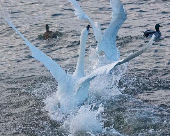 Tundra Swan 2019-90