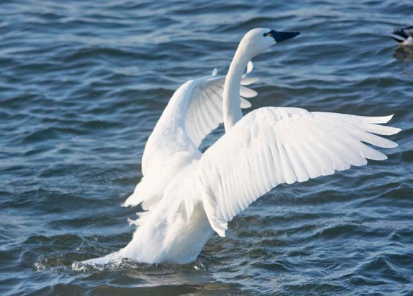 Tundra Swan 2019-94