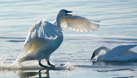 Tundra Swan 2019-97