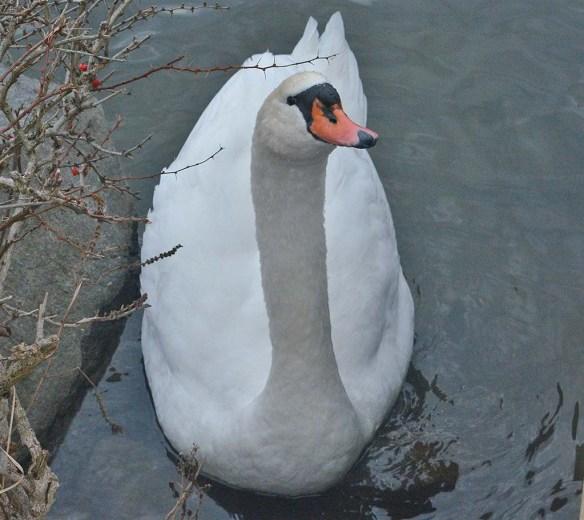 Mute Swan 2020-1