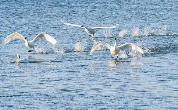 Tundra Swan 2020-6