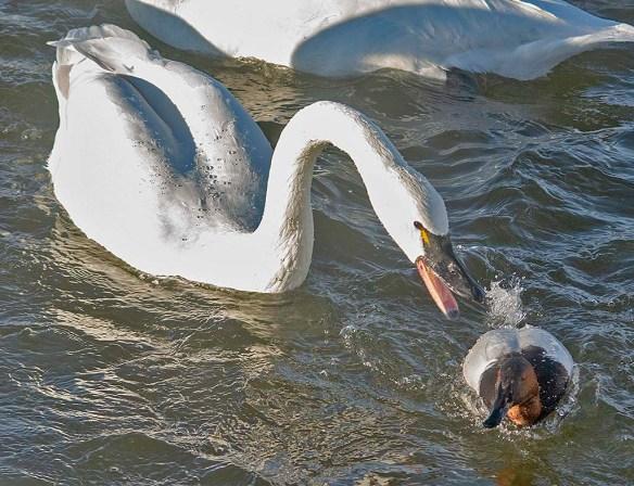 Tundra Swan 2020-7