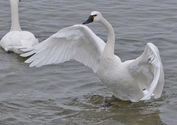 Tundra Swan 2020-8