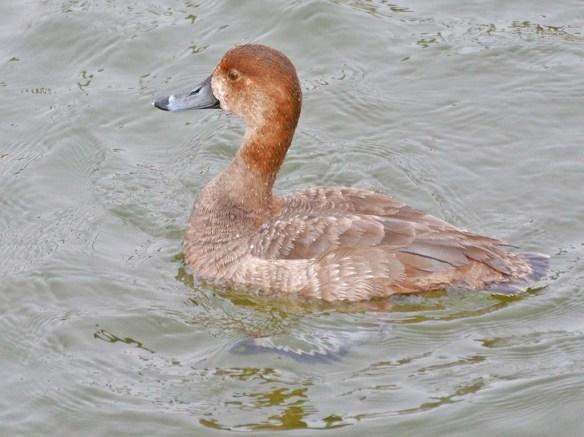 Redhead 2020-17