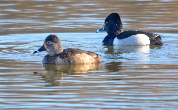 Ring Necked Duck 2020-10