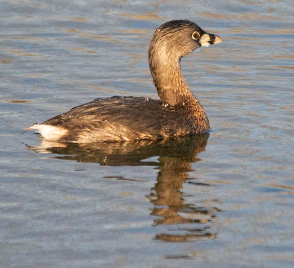 Pied Billed Grebe 2020-11