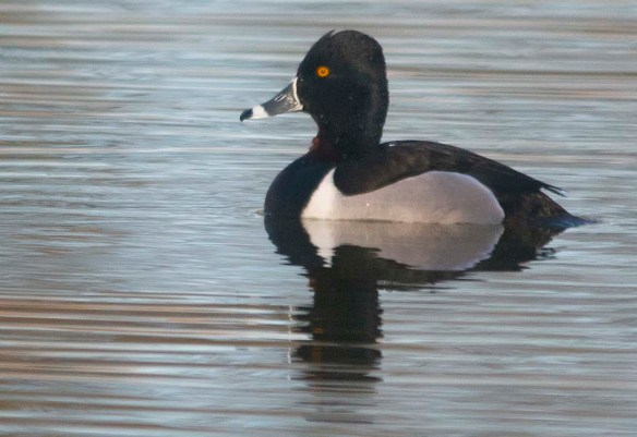 Ring Necked Duck 2020-14