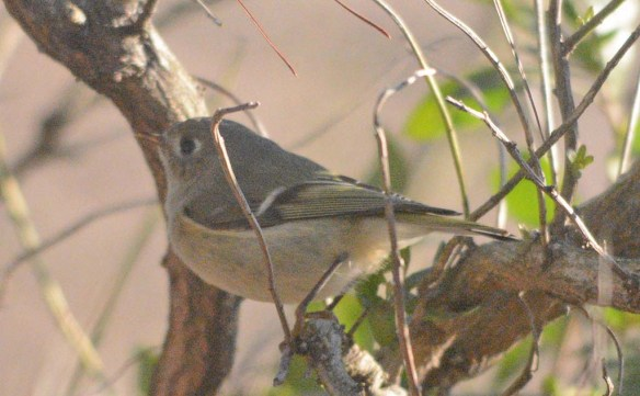 Ruby Crowned Kinglet 2020-1