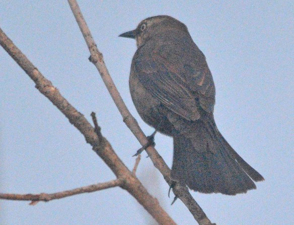 Rusty Blackbird 2020-1