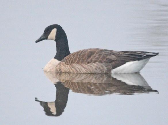 Canada Goose 2020-20