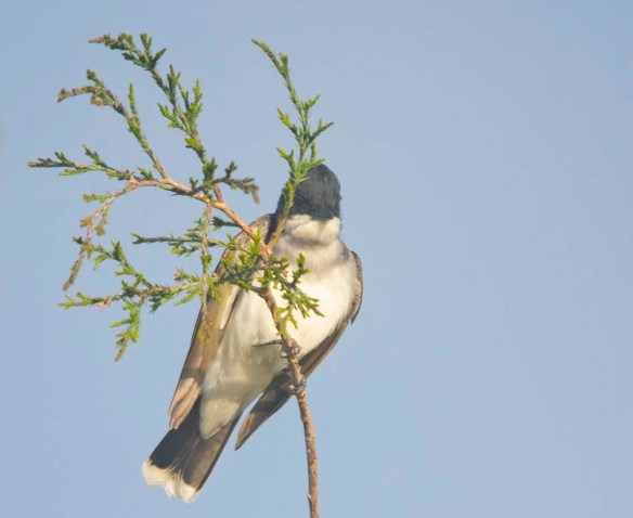 Eastern Kingbird 2020-4