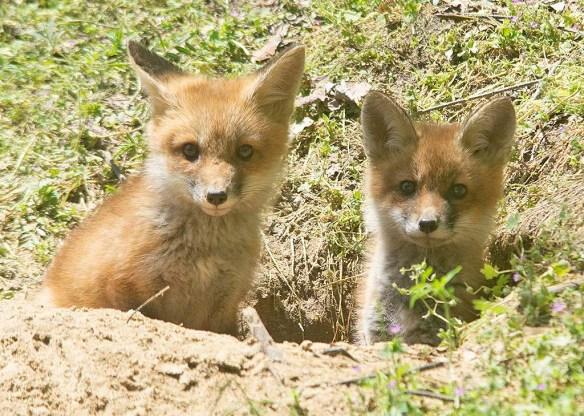Fox 126