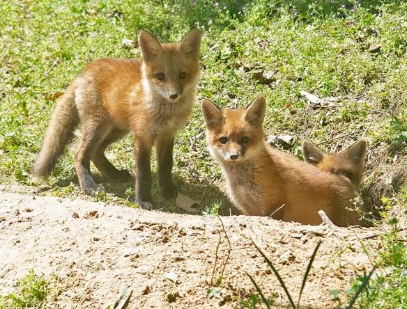 Fox 127
