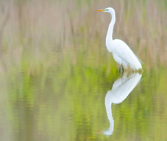 Great Egret 2020-2