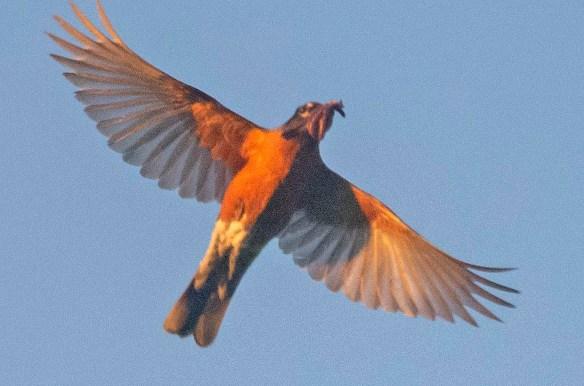 Robin 2020-2