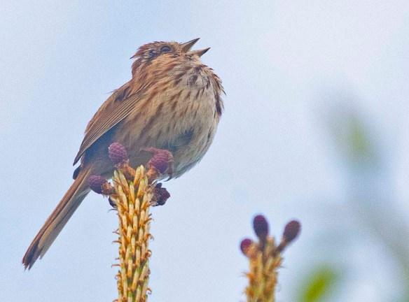 Song Sparrow 2020-1