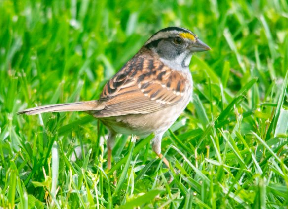 White Throated Sparrow 2020-3