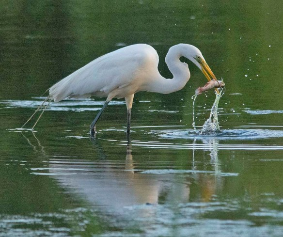 Great Egret 2020-135