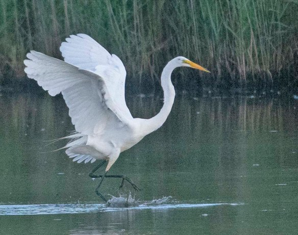 Great Egret 2020-139