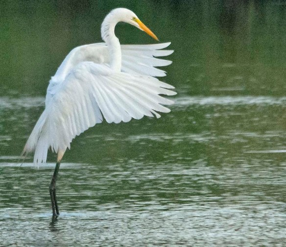 Great Egret 2020-141