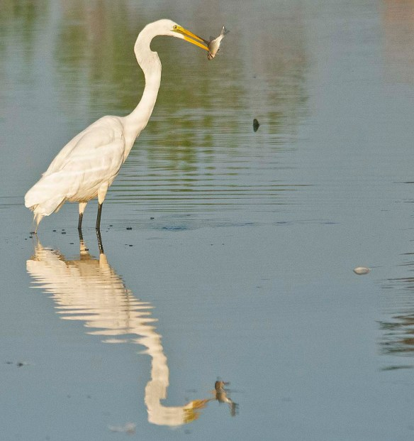 Great Egret 2020-143