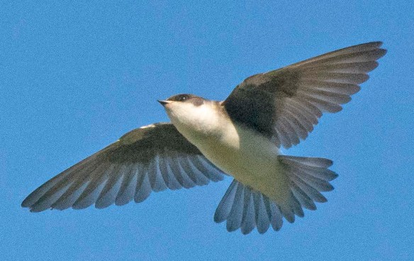 Tree Swallow 2020-161