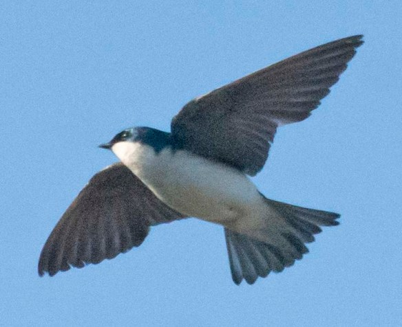 Tree Swallow 2020-167