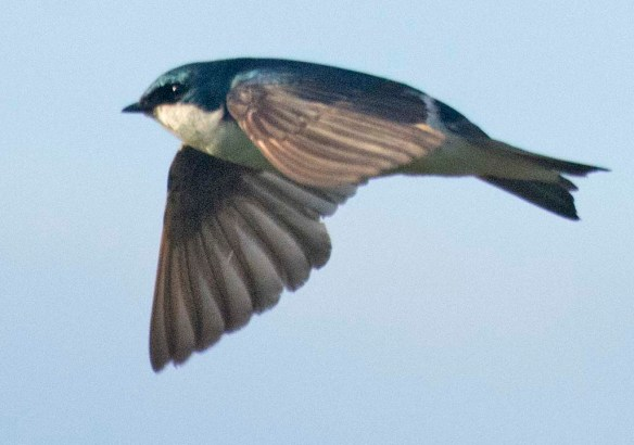 Tree Swallow 2020-17