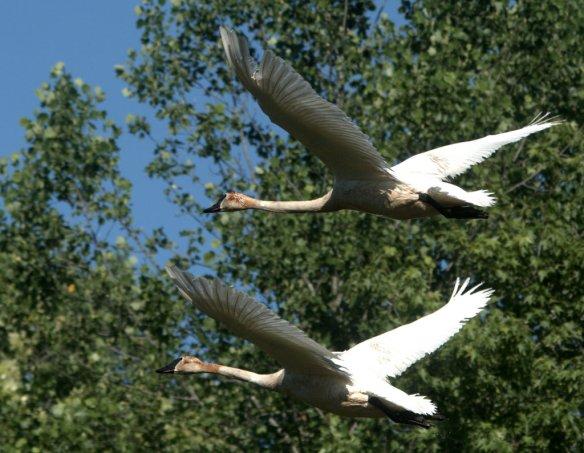 Trumpeter Swan 2020-2