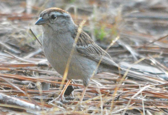 Chipping Sparrow 2020-9