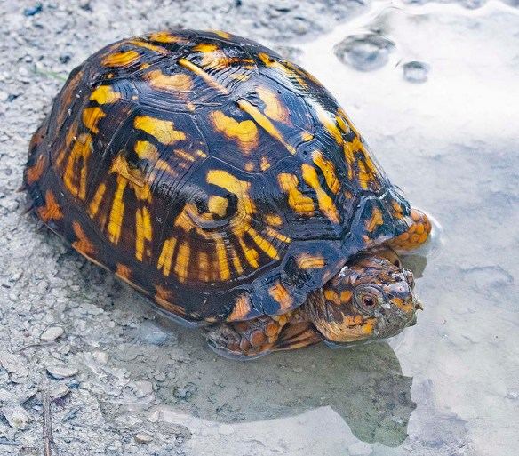 Eastern Box Turtle 18