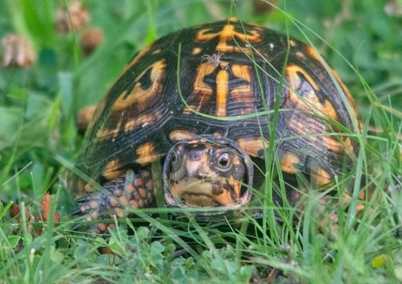 Eastern Box Turtle 20